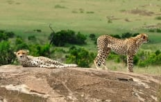 Cheetah family in Masai Mara, Kenya © Travel+Style