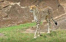 Cheetah in Masai Mara, Kenya © Travel+Style
