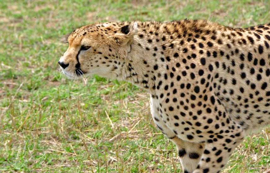Hunting cheetah in Masai Mara, Kenya © Travel+Style