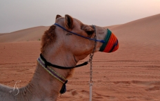 Camel in Desert, Dubai © Travel+Style