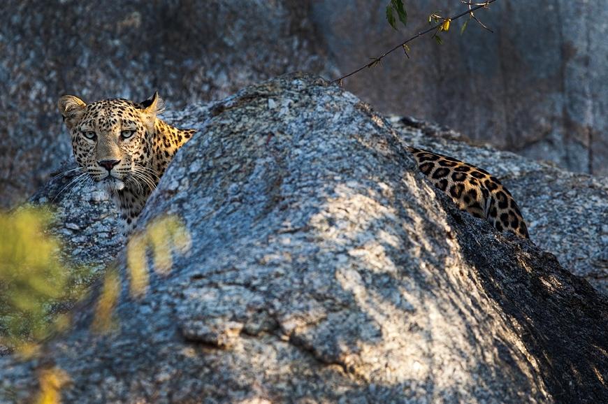 JAWAI Leopard Camp. India. TravelPlusStyle.com